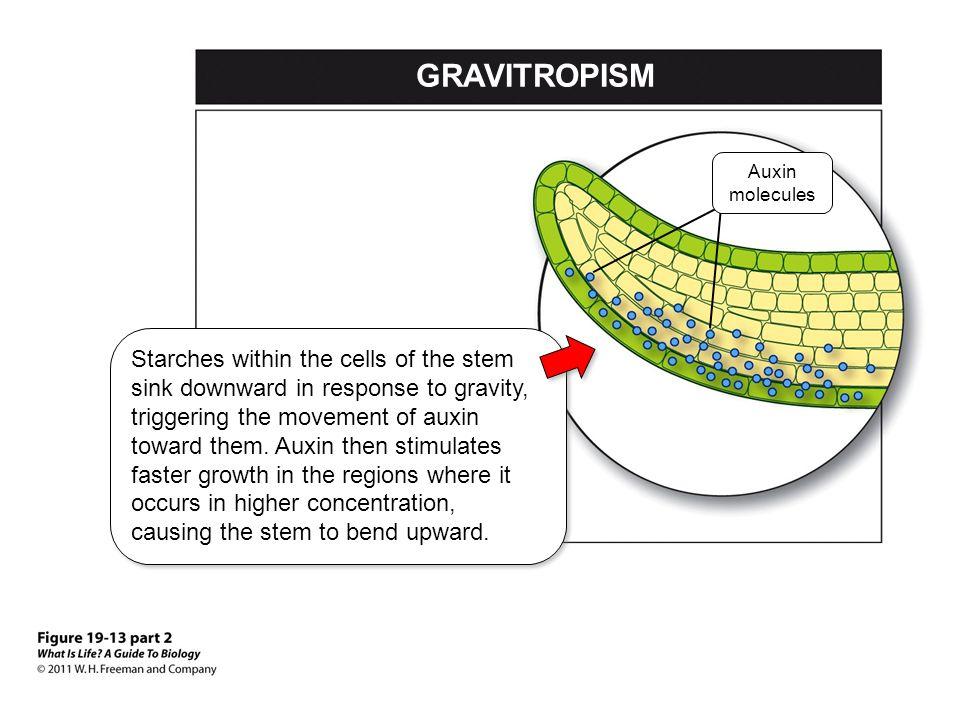 GRAVITROPISM Auxin molecules.