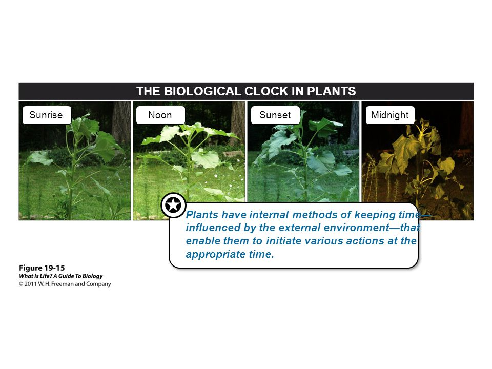 THE BIOLOGICAL CLOCK IN PLANTS