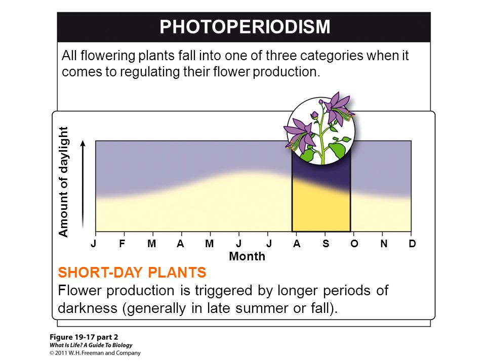 PHOTOPERIODISM SHORT-DAY PLANTS