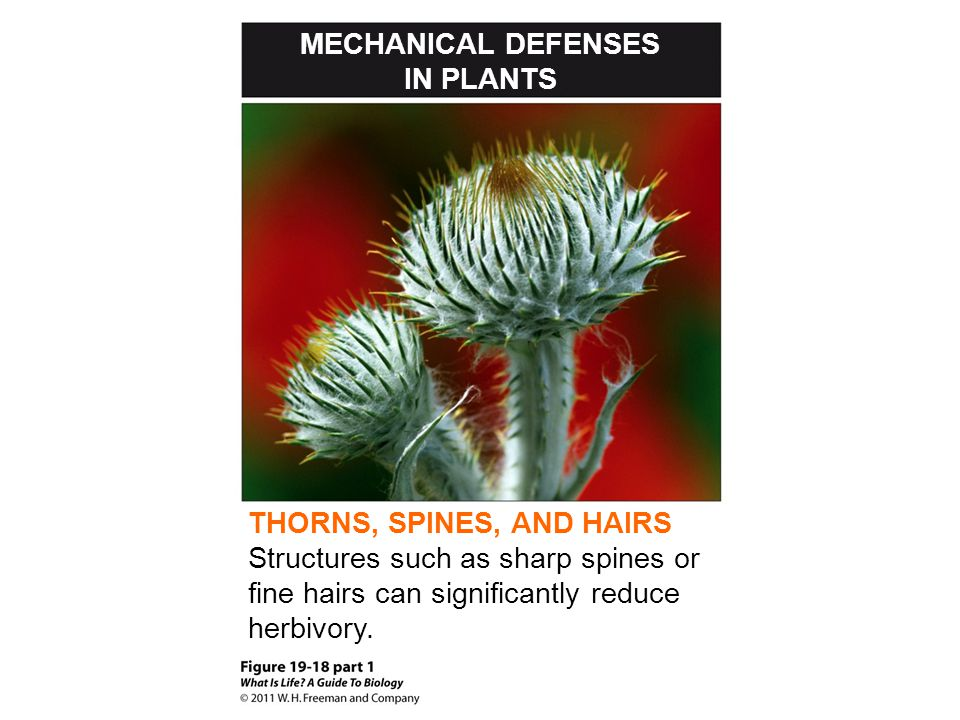 MECHANICAL DEFENSES IN PLANTS. THORNS, SPINES, AND HAIRS.