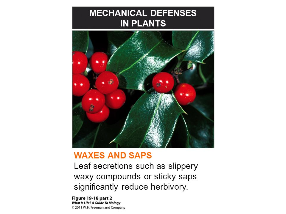 MECHANICAL DEFENSES IN PLANTS. WAXES AND SAPS.