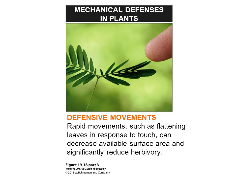 MECHANICAL DEFENSES IN PLANTS. DEFENSIVE MOVEMENTS.