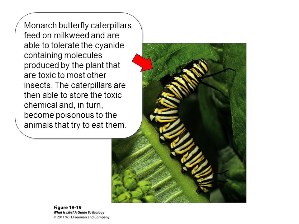 Monarch butterfly caterpillars feed on milkweed and are able to tolerate the cyanide-containing molecules produced by the plant that are toxic to most other insects.