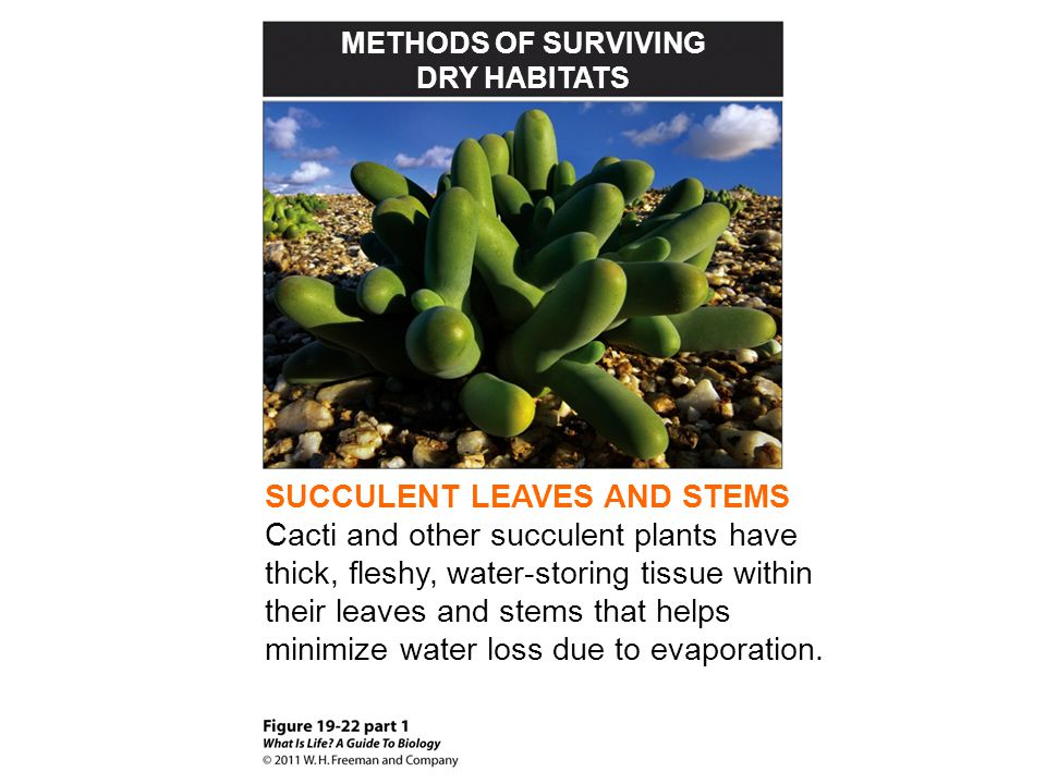 SUCCULENT LEAVES AND STEMS