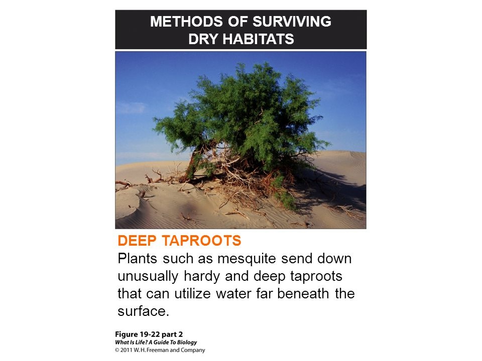 METHODS OF SURVIVING DRY HABITATS. DEEP TAPROOTS.