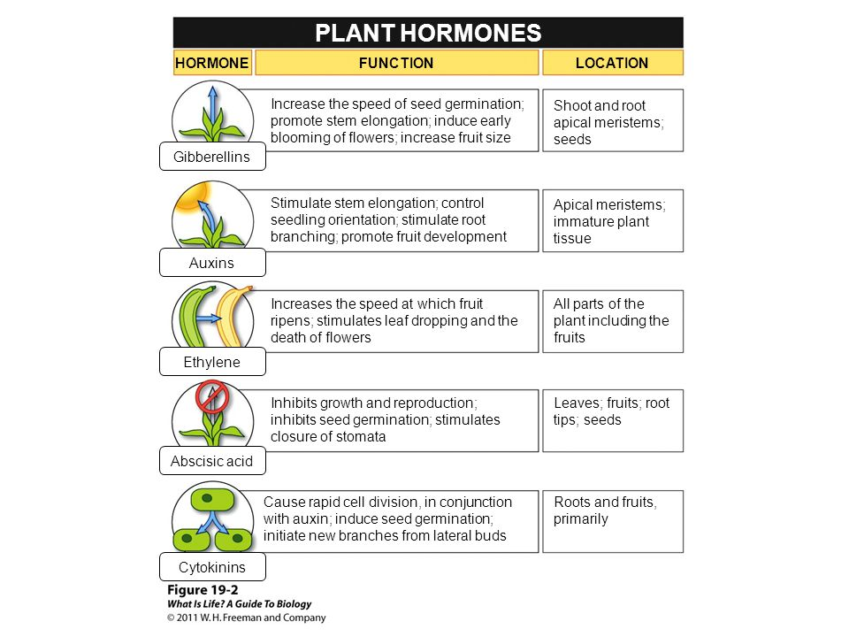 PLANT HORMONES HORMONE FUNCTION LOCATION