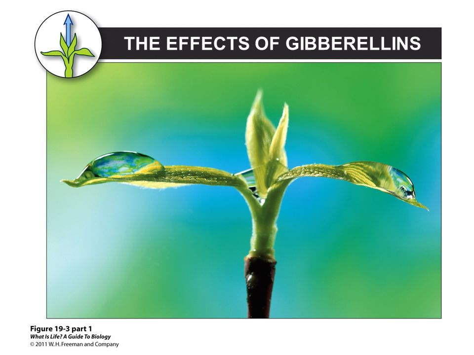 THE EFFECTS OF GIBBERELLINS