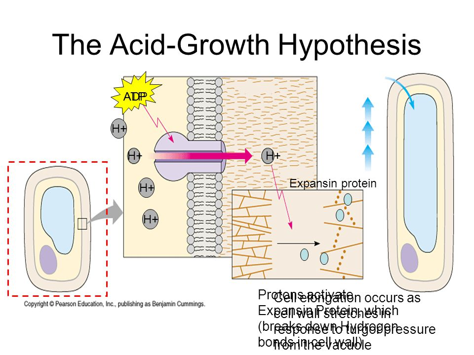 The Acid-Growth Hypothesis
