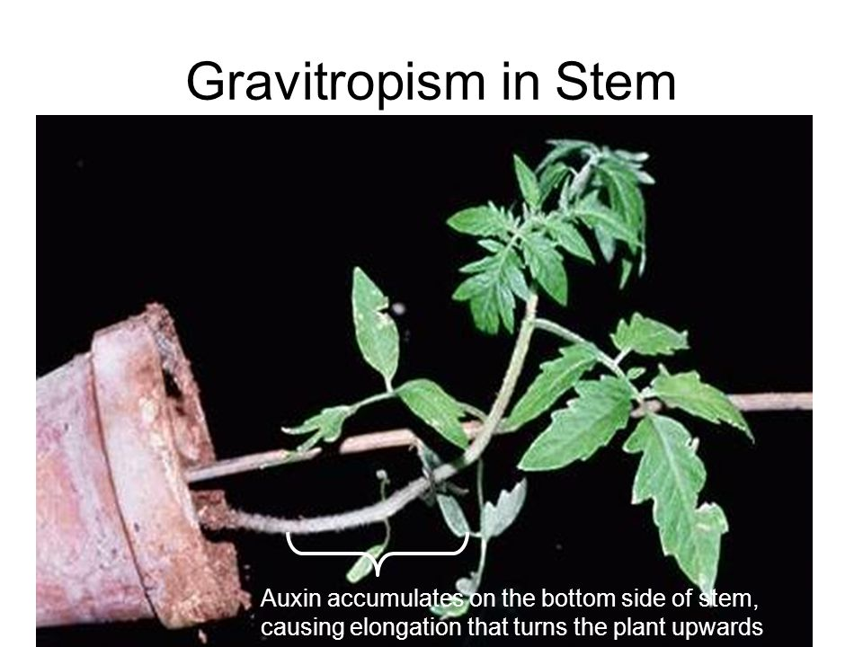 Gravitropism in Stem Auxin accumulates on the bottom side of stem, causing elongation that turns the plant upwards.