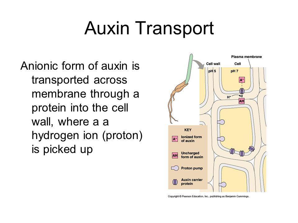 Auxin Transport