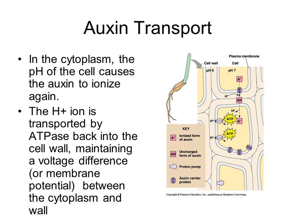 Auxin Transport In the cytoplasm, the pH of the cell causes the auxin to ionize again.