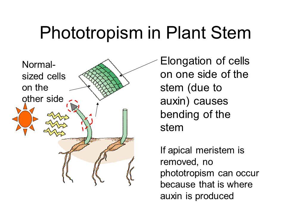 Phototropism in Plant Stem