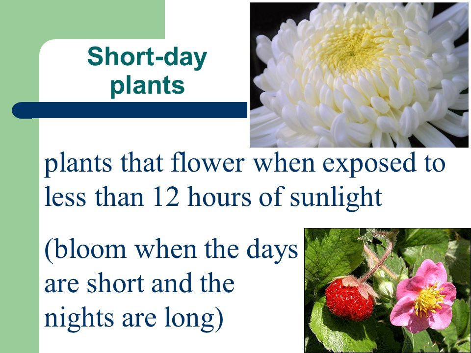 plants that flower when exposed to less than 12 hours of sunlight