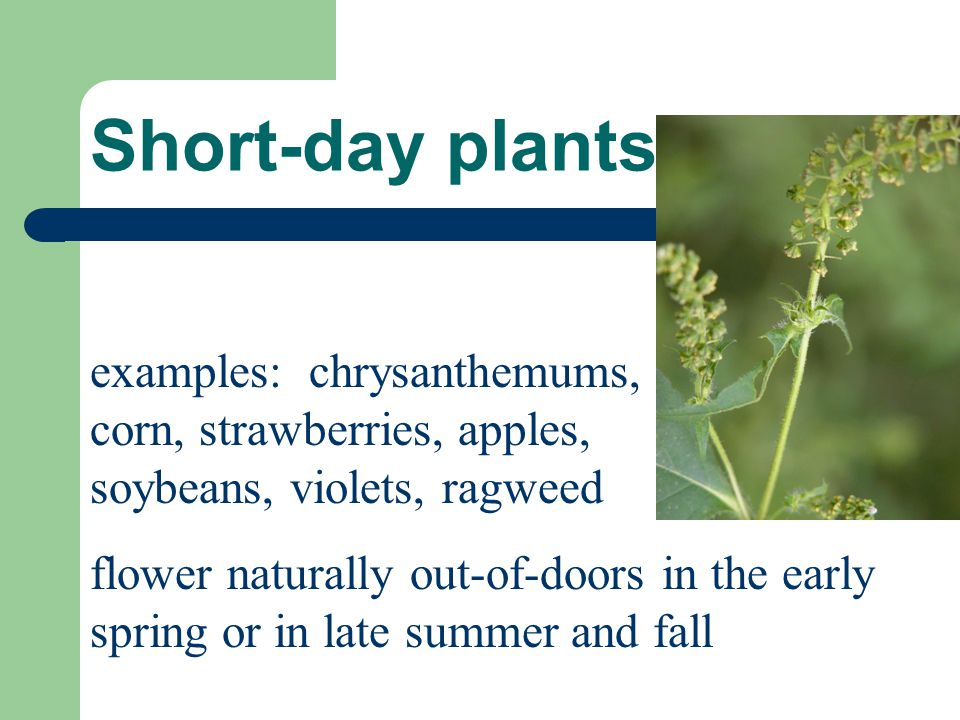 Short-day plants examples: chrysanthemums, corn, strawberries, apples, soybeans, violets, ragweed.