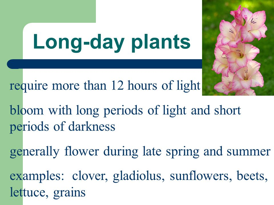 Long-day plants require more than 12 hours of light