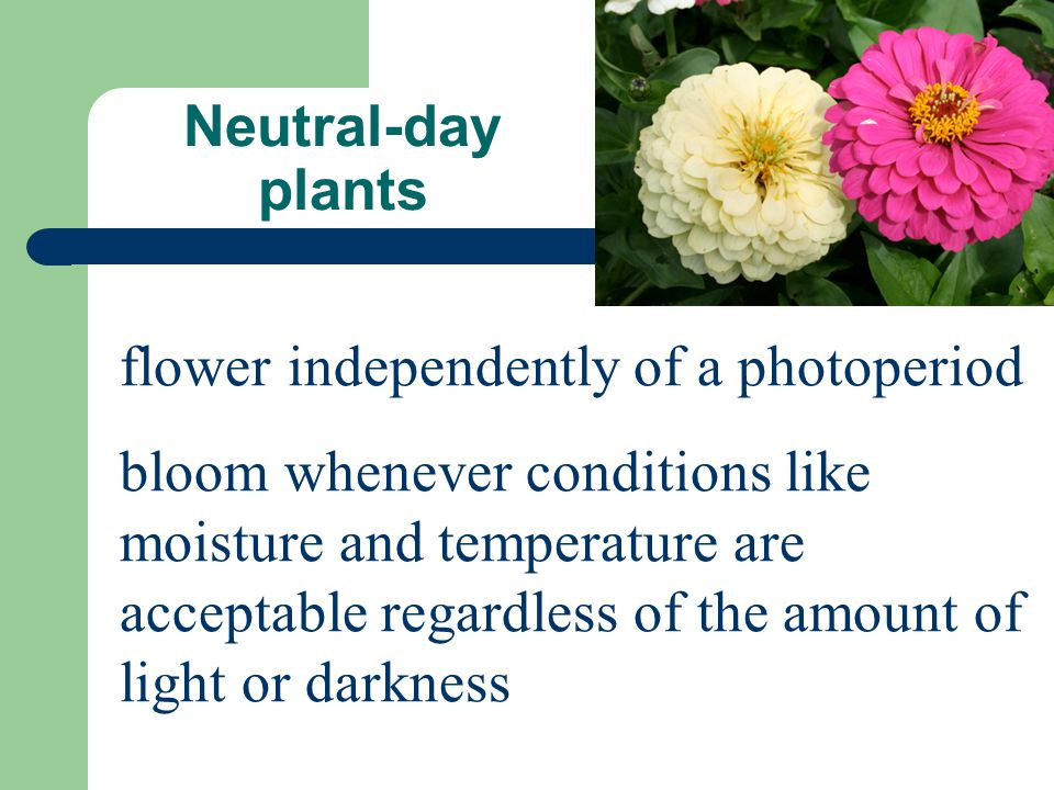 Neutral-day plants flower independently of a photoperiod.