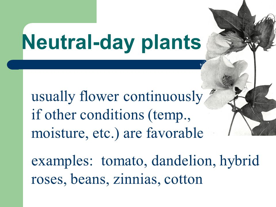 Neutral-day plants usually flower continuously if other conditions (temp., moisture, etc.) are favorable.
