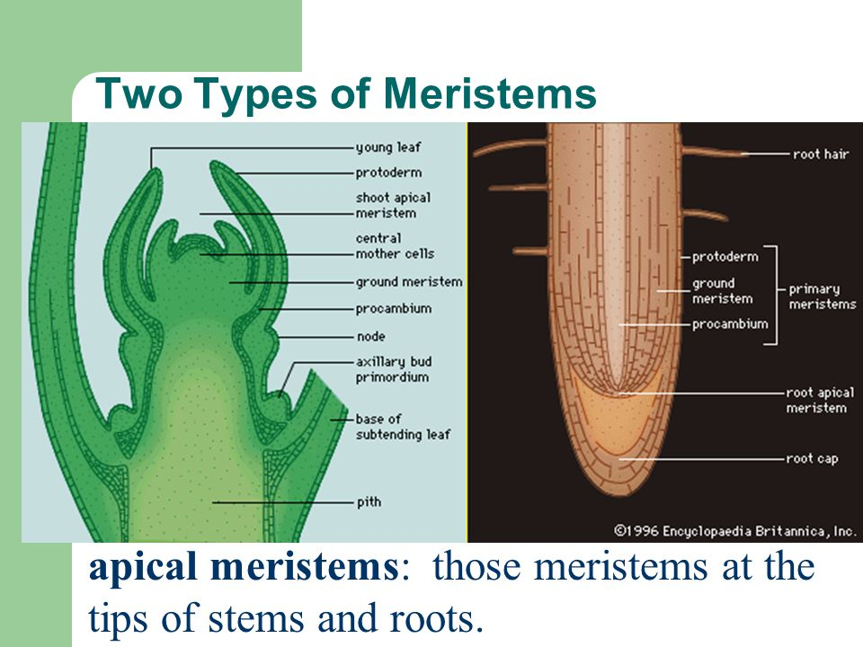 Two Types of Meristems apical meristems: those meristems at the tips of stems and roots.