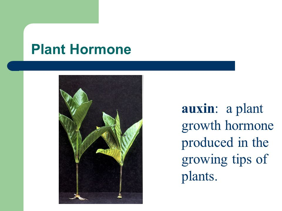 Plant Hormone auxin: a plant growth hormone produced in the growing tips of plants.