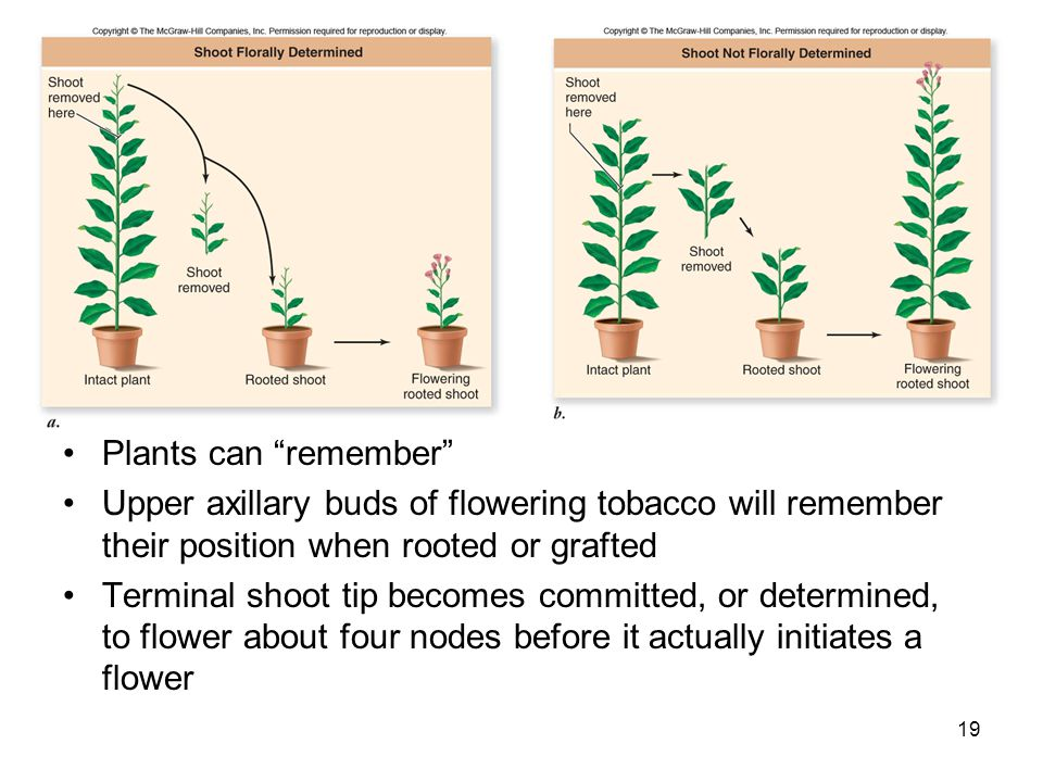 Plants can remember Upper axillary buds of flowering tobacco will remember their position when rooted or grafted.