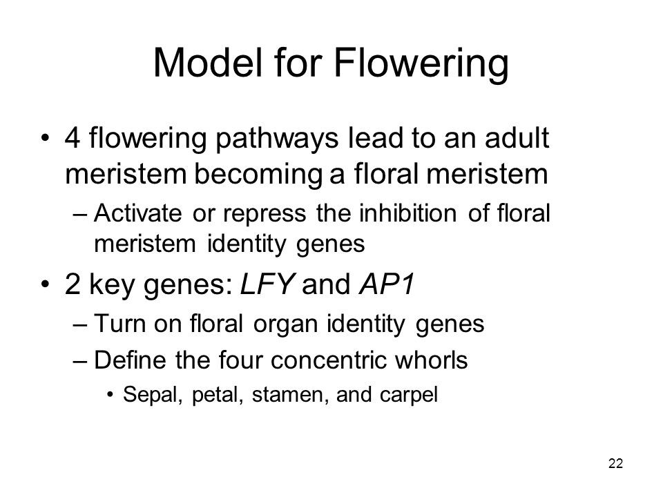 Model for Flowering 4 flowering pathways lead to an adult meristem becoming a floral meristem.