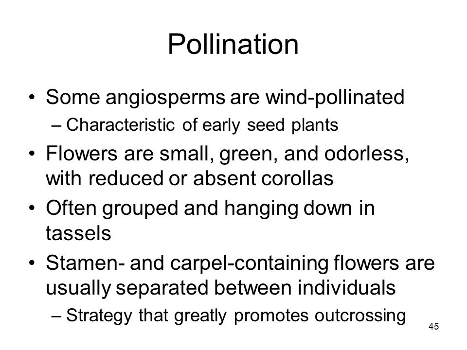 Pollination Some angiosperms are wind-pollinated