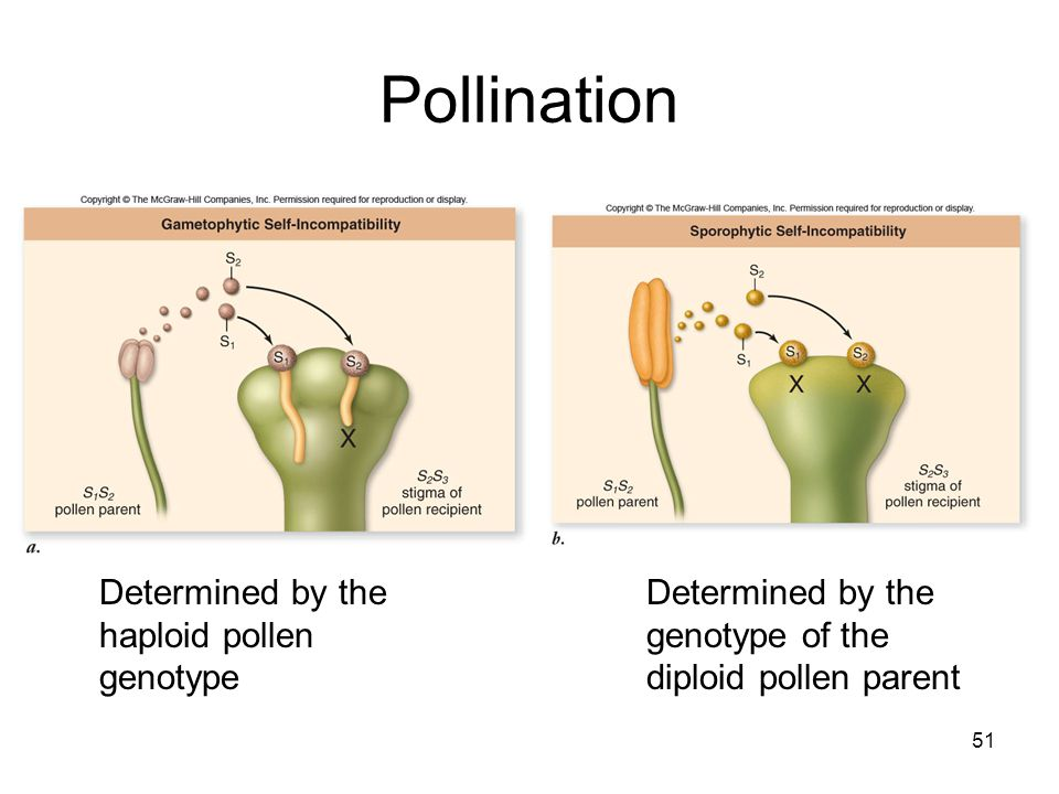 Pollination Determined by the haploid pollen genotype