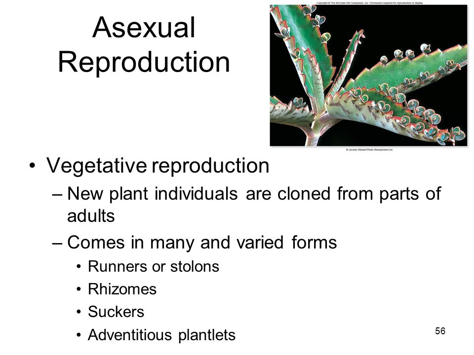 Asexual Reproduction Vegetative reproduction