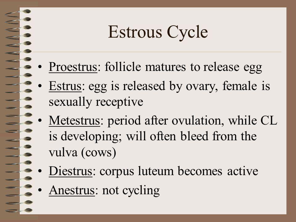 Estrous Cycle Proestrus: follicle matures to release egg