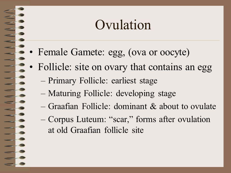 Ovulation Female Gamete: egg, (ova or oocyte)