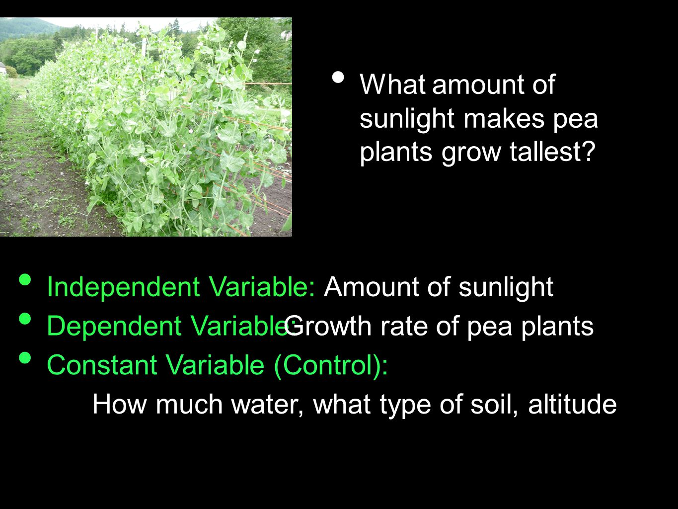 What amount of sunlight makes pea plants grow tallest