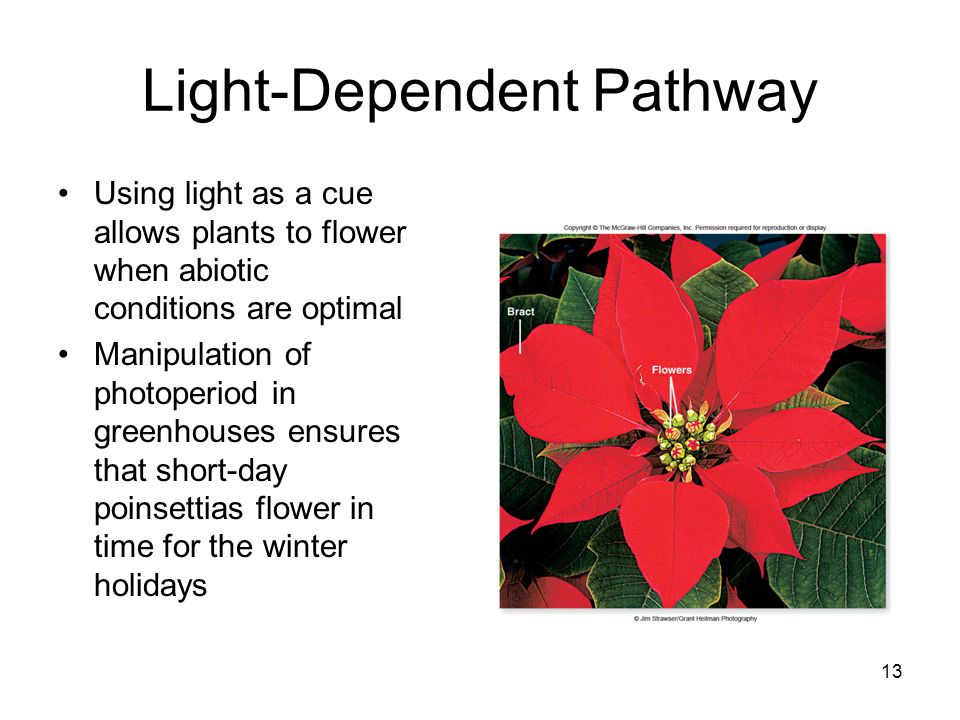 Light-Dependent Pathway