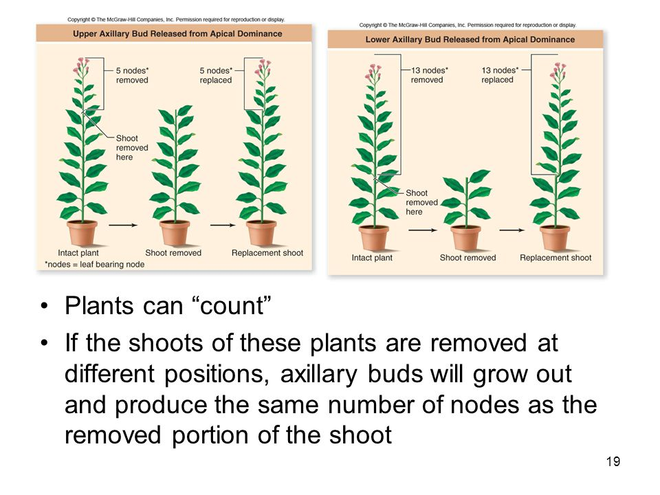 Plants can count
