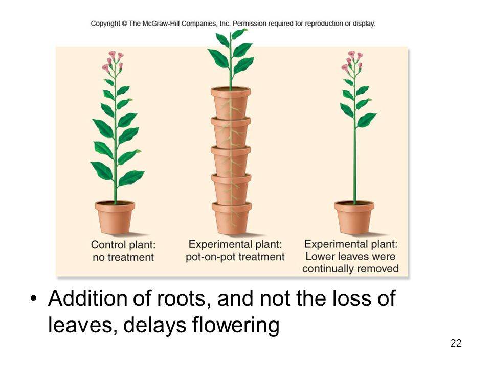 Addition of roots, and not the loss of leaves, delays flowering
