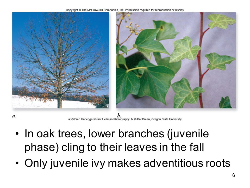 In oak trees, lower branches (juvenile phase) cling to their leaves in the fall