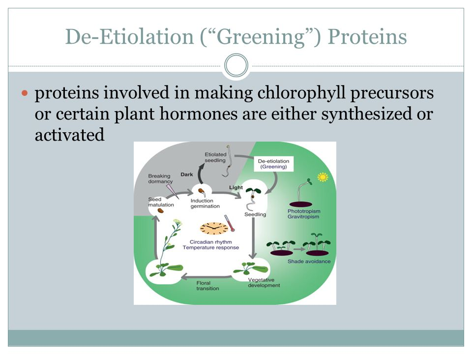 De-Etiolation ( Greening ) Proteins