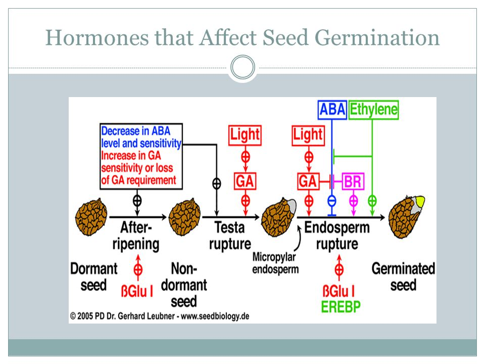 Hormones that Affect Seed Germination