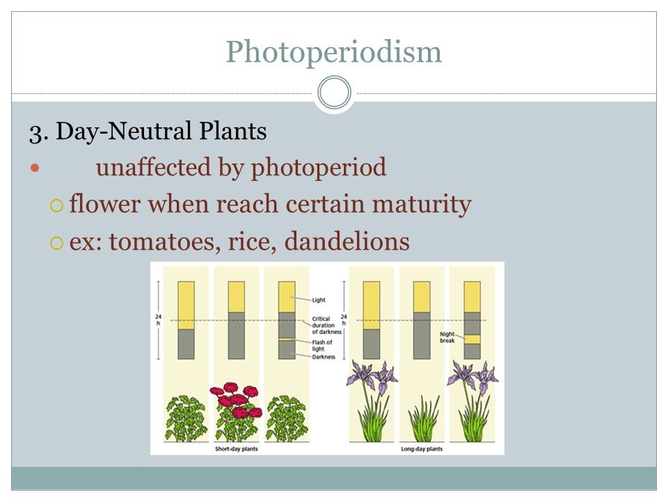 Photoperiodism flower when reach certain maturity