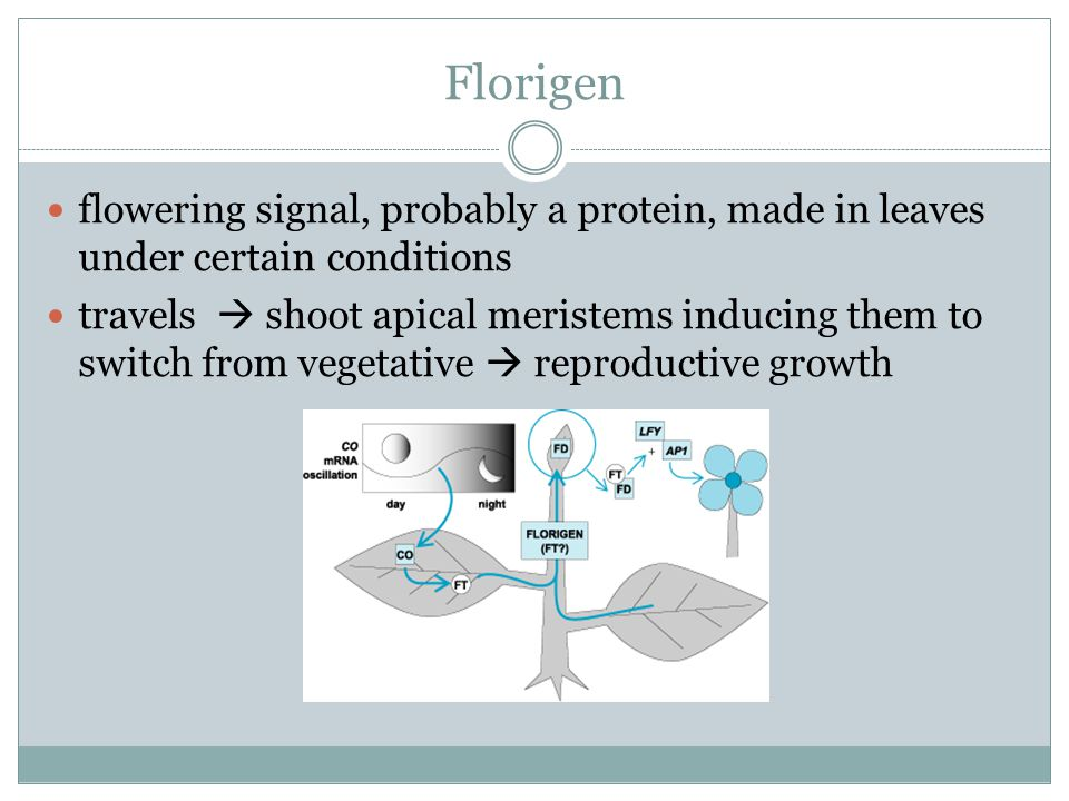 Florigen flowering signal, probably a protein, made in leaves under certain conditions.