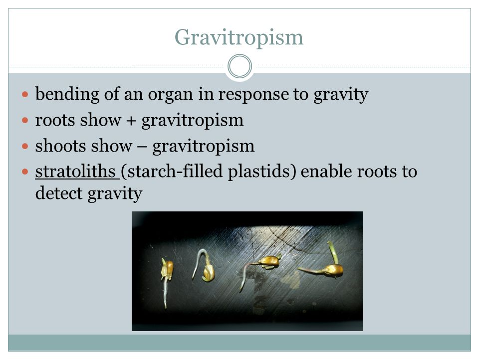 Gravitropism bending of an organ in response to gravity