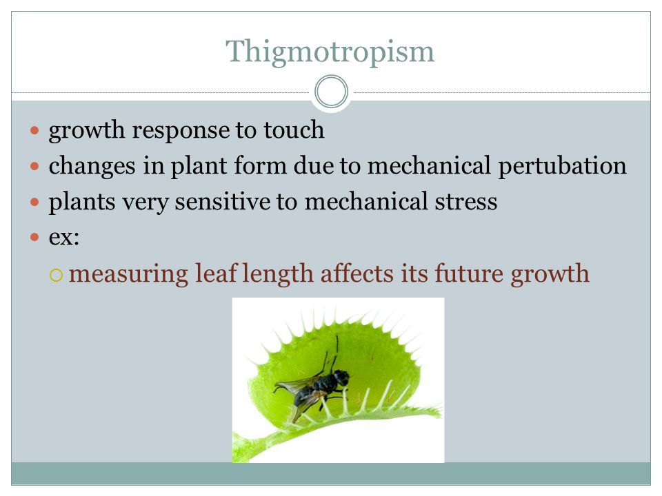 Thigmotropism measuring leaf length affects its future growth
