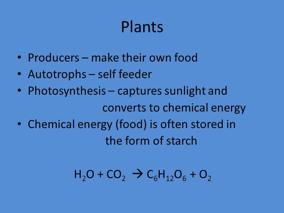 Plants Producers – make their own food Autotrophs – self feeder