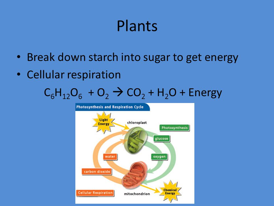 Plants Break down starch into sugar to get energy Cellular respiration