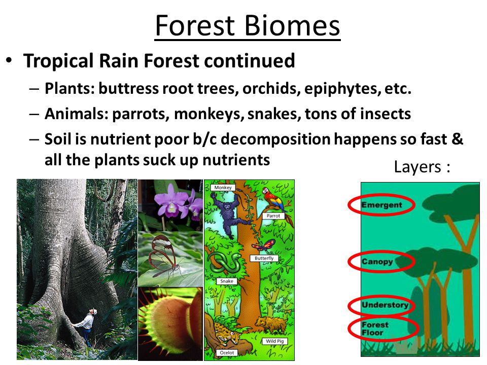 Forest Biomes Tropical Rain Forest continued Layers :