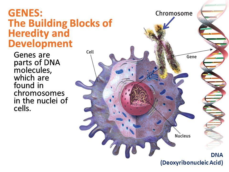 The Building Blocks of Heredity and Development GENES: