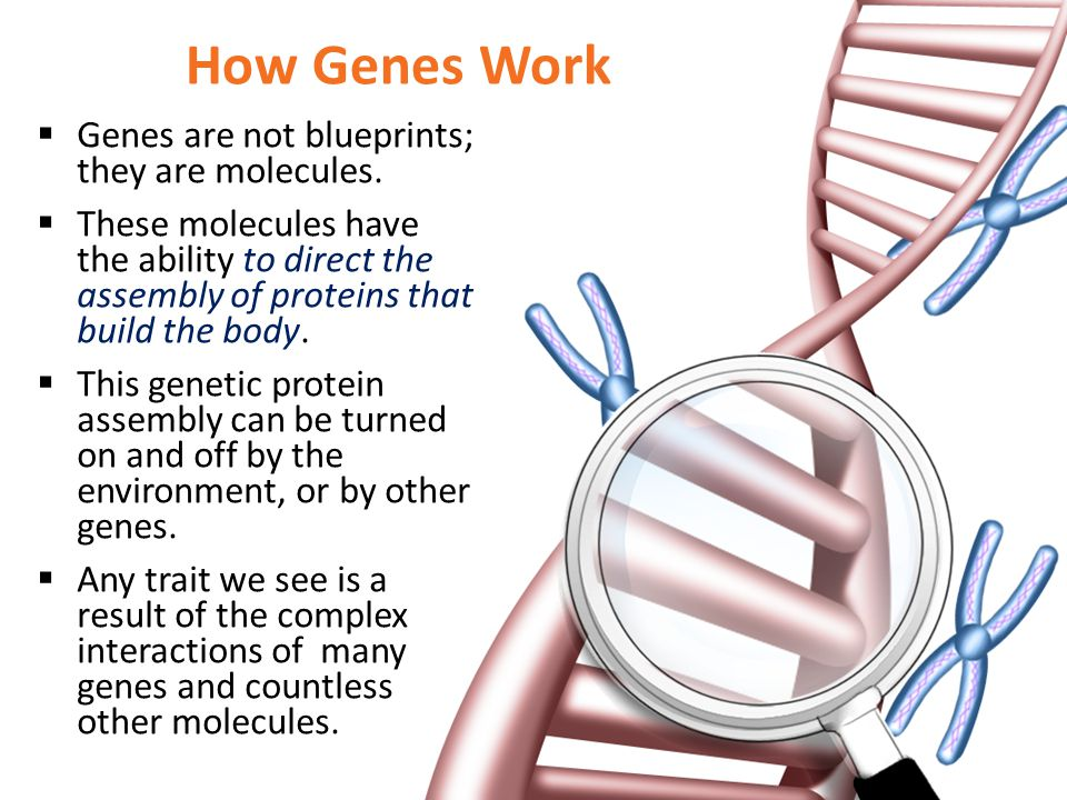How Genes Work Genes are not blueprints; they are molecules.