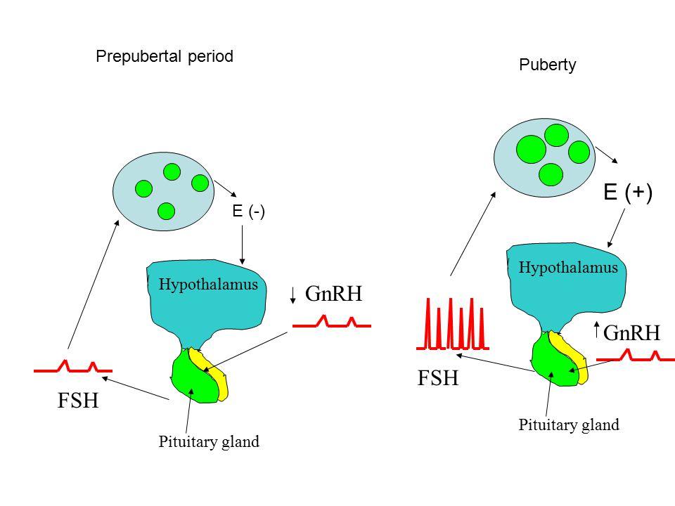 E (+) GnRH GnRH FSH FSH Prepubertal period Puberty E (-) Hypothalamus