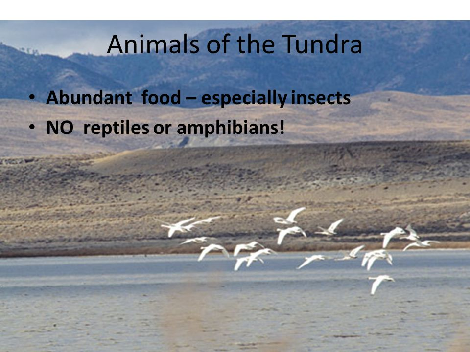 Animals of the Tundra Abundant food – especially insects
