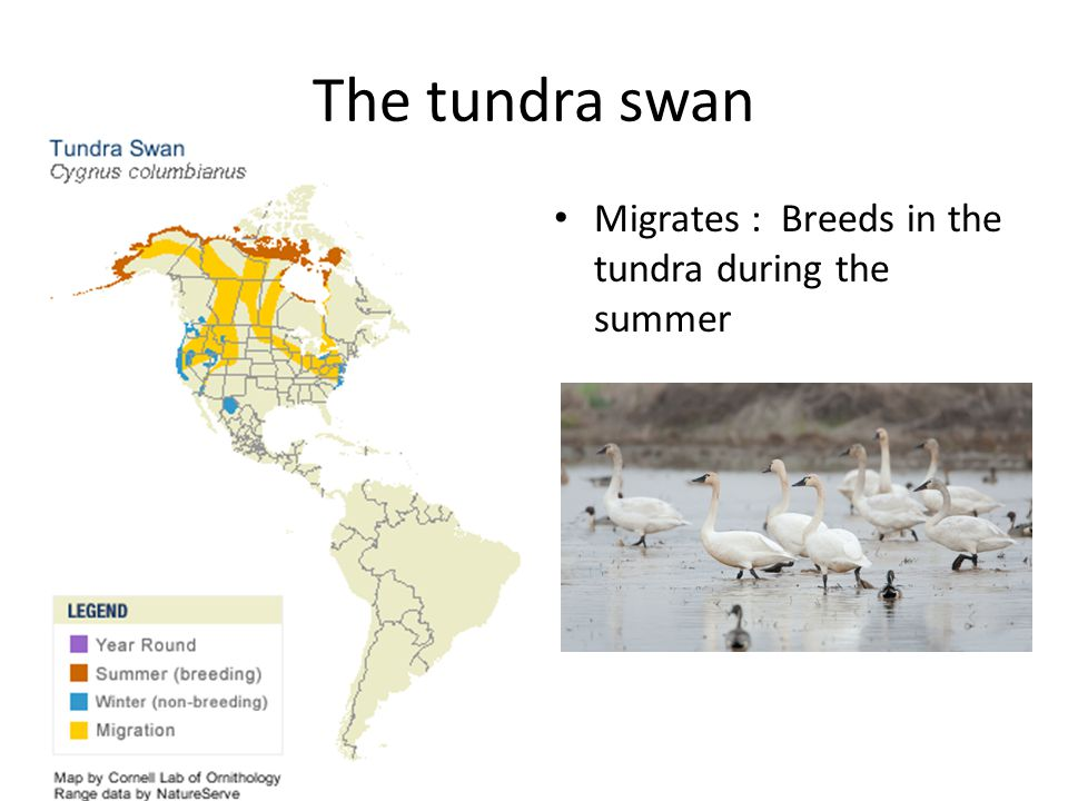 The tundra swan Migrates : Breeds in the tundra during the summer