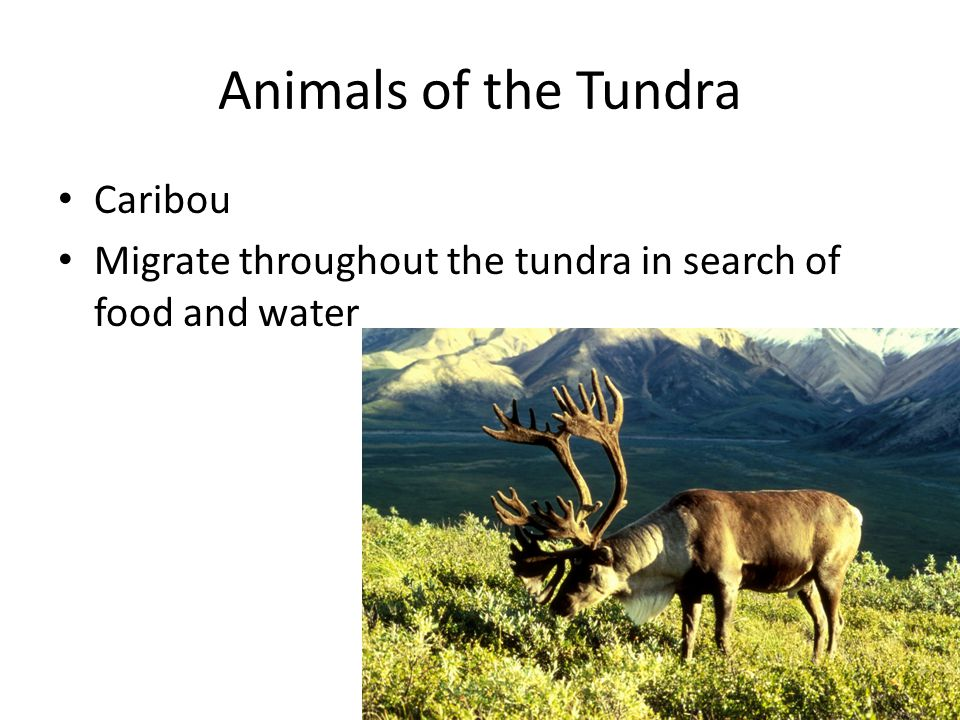 Animals of the Tundra Caribou